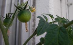 Tomato0704_01